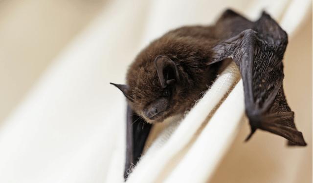 Centro de Controle de Zoonoses registra primeiro caso de raiva em morcego em 2021 em Piracicaba
