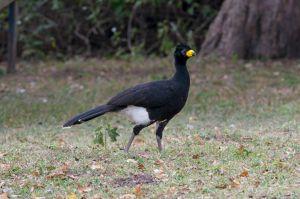 Projeto no noroeste de SP pretende restaurar e conectar florestas para aumentar população de ave ameaçada de extinção
